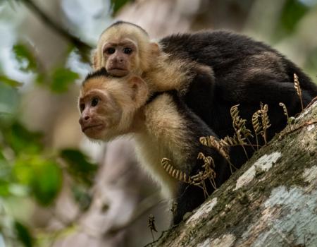 Monkeys Costa Rica